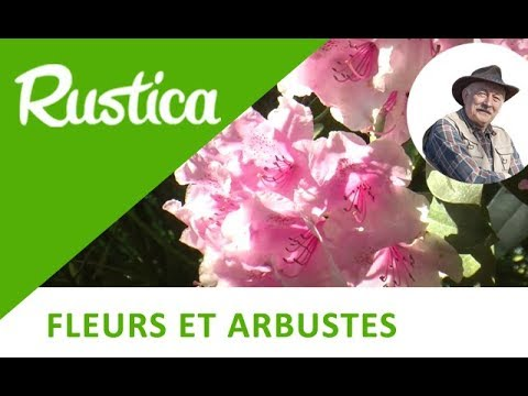 Comment bouturer le rhododendron