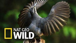 Kierunek Wild: Dzika Australia - Taniec godowy ptaków