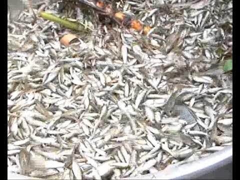 Đồng Tháp mùa cá linh, bông điên điển