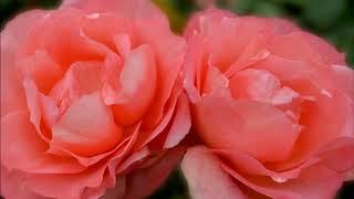 桑田佳祐 - 百万本の赤い薔薇