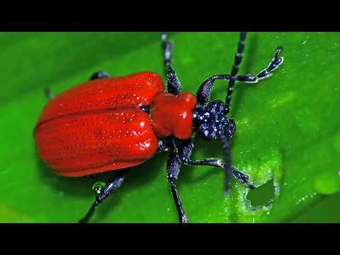Красный жук на участке. Как избавиться от лилейной трещалки и жука солдатика