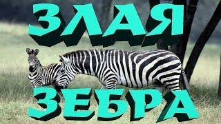 Зебра напала на жеребенка.Нападение животных.Жесть.