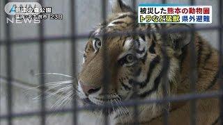 地震で被災した熊本市の動物園のトラなどが福岡県の動物園に移されまし...