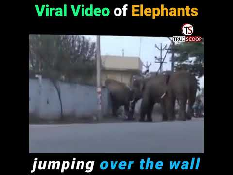 Viral Video of Elephants jumping over the wall