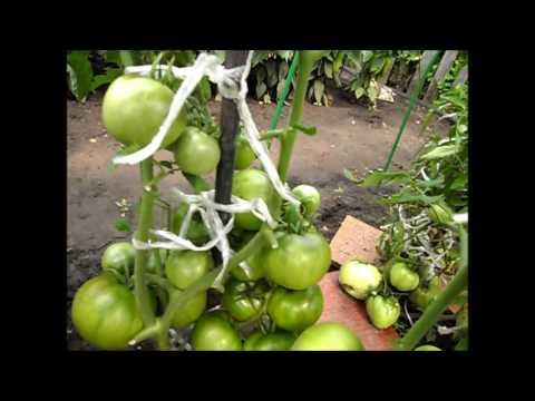 Сорт помидоров ТОЛСТЫЙ ДЖЕК