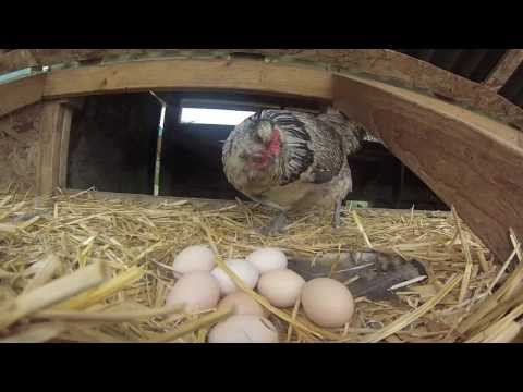 Scratch and Peck Feeds | From Farm to Feed | Organic Chicken Feed