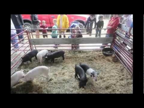 Pittson Fair Pig Scramble