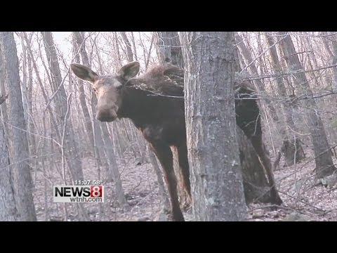 Moose on the loose in Southington