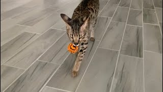 Savannah Cat Loves To Play Fetch Like A Dog! Cuteness Overload! #cute #cat #video