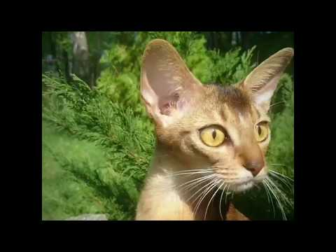 Abyssinian cat in the wild nature. Abyssinian Outdoors. ( smartaby.com )