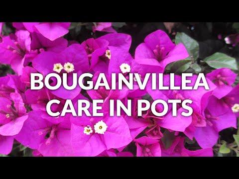 BOUGAINVILLEA CARE IN POTS / JoyUsgarden