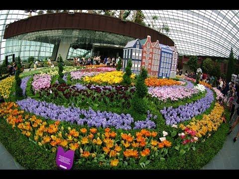 Tulips in Singapore