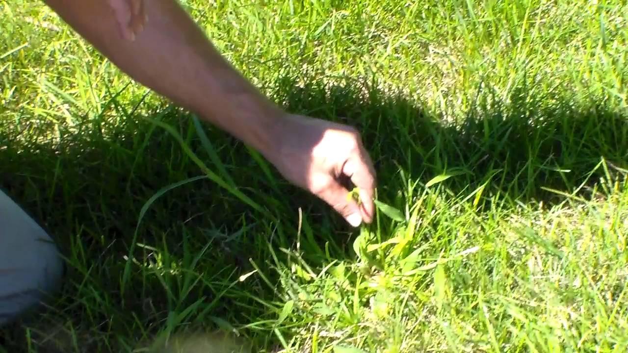 Natural Crabgrass Killer How To Kill Crabgrass Naturally And