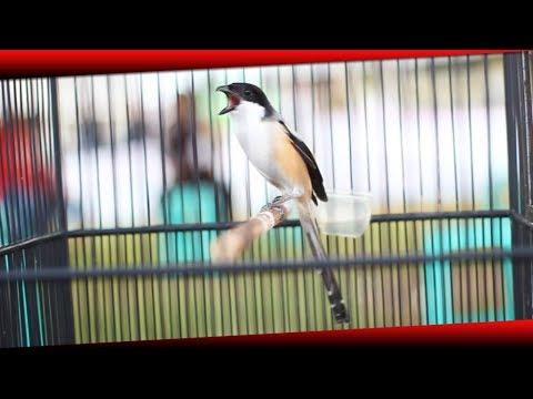 Video Burung Cendet Juara 1 | Cendet Jarum Miliknya The Team Ahien Sf