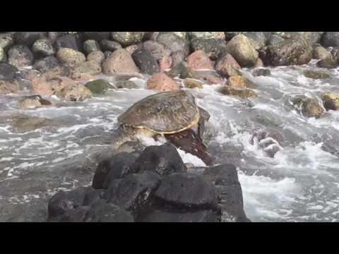 Sea Turtles at Polo Beach   Kihei, Hawaii   Maui