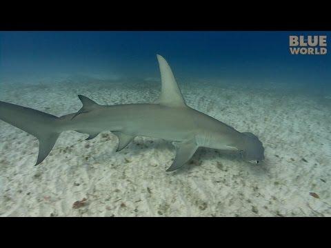 Great Hammerhead Sharks | JONATHAN BIRD