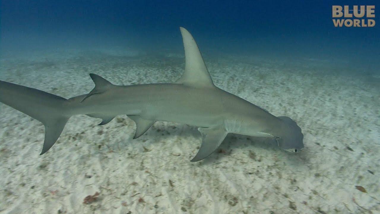 c51d9bf2ee Great Hammerhead Sharks | JONATHAN BIRD'S BLUE WORLD - YouTube