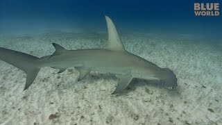 Great Hammerhead Sharks | JONATHAN BIRD