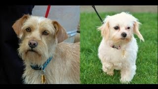 Wilson (cairn Terrier / Border Terrier Mix) & Bridgett (maltese Mix) - Furryfriendsrescue.org