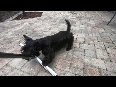 Scottish Terrier vs Squeegee