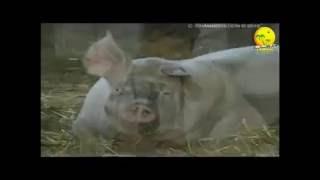 Pourquoi les Musulmans ne mangent pas de porc? (Preuves Scientifique)
