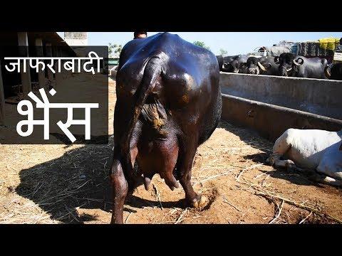 शानदार दूधारू जाफराबादी भैंस | Jafarabadi buffalo of Bhavnagar Gujarat