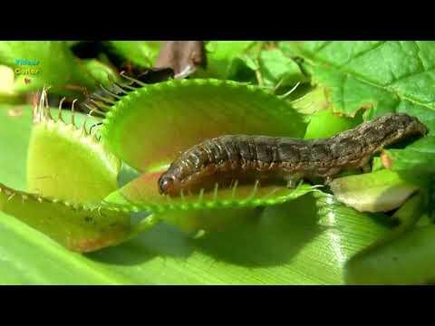 Растения едят насекомых!