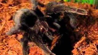 Паук птицеед убивает и ест (Spider bird eater kill and eat)