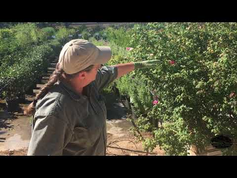 How To Prune Your Rose Bushes In Summer