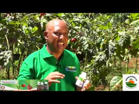 Growing Tree Tomatoes with Oxfarm Organic Limited and Biodeposit Africa Ltd