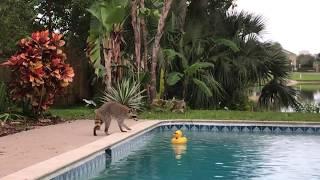 Енот- ценитель уточек. Дикие животные как у себя дома. Флорида.Мой дом.