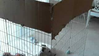 Whippet Puppy Jumping Out Of A 4-foot Exercise Pen