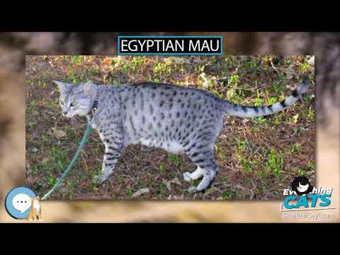 Egyptian Mau 🐱🦁🐯 EVERYTHING CATS 🐯🦁🐱