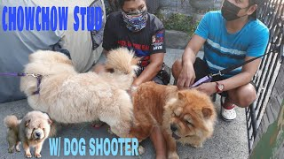 HOW TO STUD CHOWCHOW/MARCIAL❤CASSEY/STUD 1ST SESSION W/SHOOTER