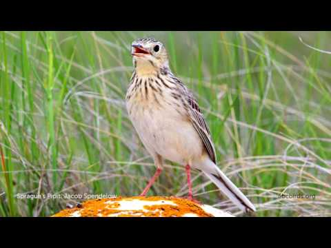 Sprague's Pipit Song