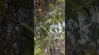 Download Video চাকমা অাদিবাসীদের রহস্যময় দেবংসি ঘিলে ফুল। MP3 3GP MP4
