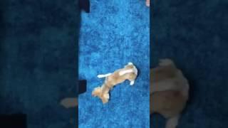 犬のくせに猫のようにはしゃいでる動画です。