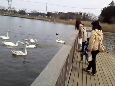 29羽 20150314小美玉市池花池のハクチョウ白鳥スワンSWANS