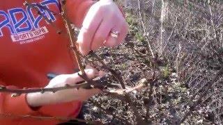 Обрезка персика, обрезка малины весной(Обрезка персика, малины весной очень интересная работа., 2016-03-07T07:47:05.000Z)