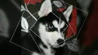 Хаски-самые красивые собаки