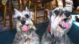 Rescue Schnauzers Need A Reason!