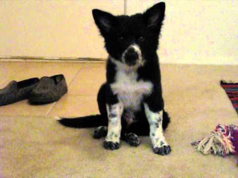 Australian Shepherd - Blue Heeler Puppy - YouTube