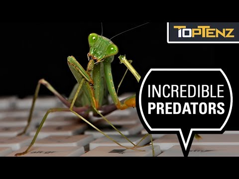 10 Mad Facts About The Praying Mantis