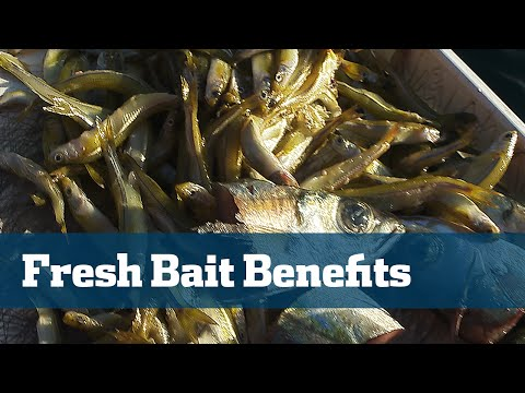 Florida Sport Fishing TV - Pro's Tip Best Fresh Bait Chum Chunks For Yellowtail Snapper Fishing