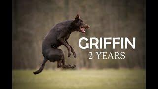GRIFFIN  2 years  Australian Kelpie