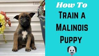 How to Train a Belgian Malinois Puppy? Puppy Training Basics