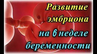 календарь беременности: развитие эмбриона на 6 неделе беременности!