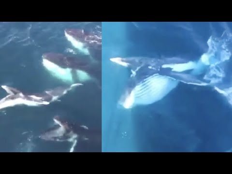 Whales breach underneath offshore mining rig