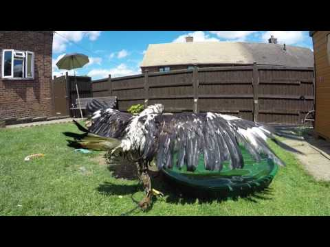 Golden eagle bath time and new tail feather worth watching to the end