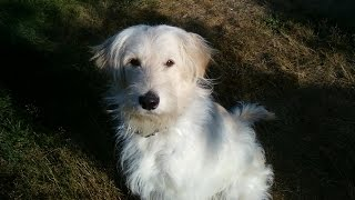 Cute Funny Animal Videos For Children. Golden Retriever Poodle Mixed Dog - Goldendoodle. No.64 2014